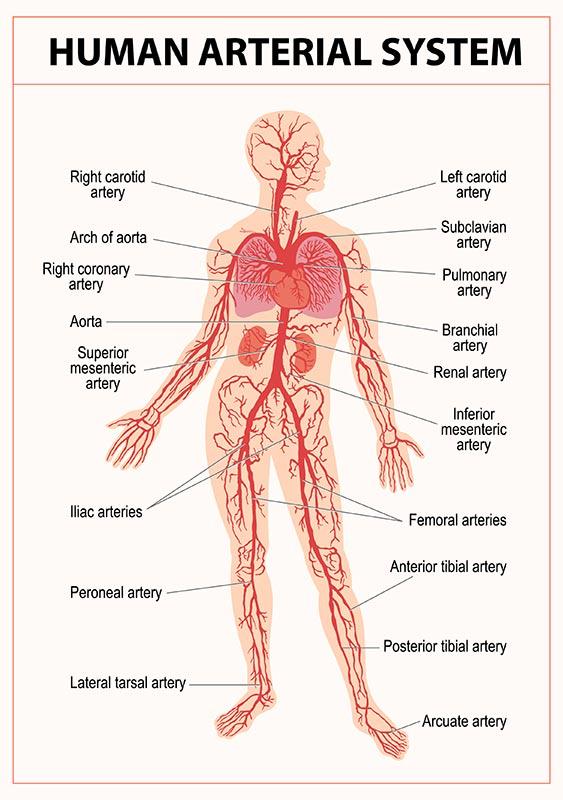 système artériel chez l'homme